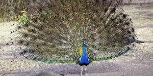 peacocks © Pixabay 2021 / image: bharatkansara7002
